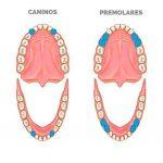 ¿Cómo es la composición de los dientes?